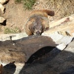 Yellow-bellied Marmot licking rocks!